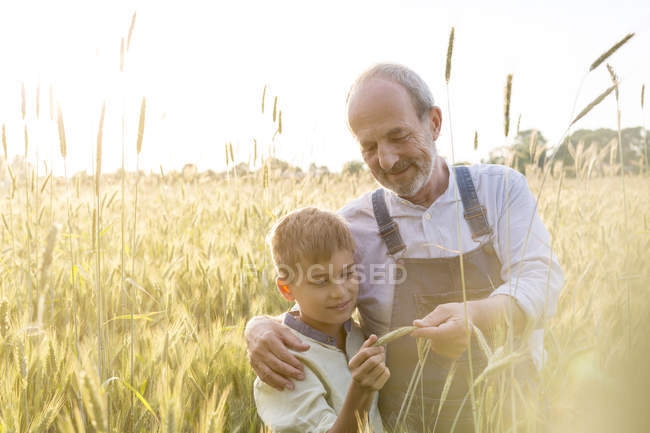 Фермер діда і онука, вивчення сільській пшениці кадрування — стокове фото