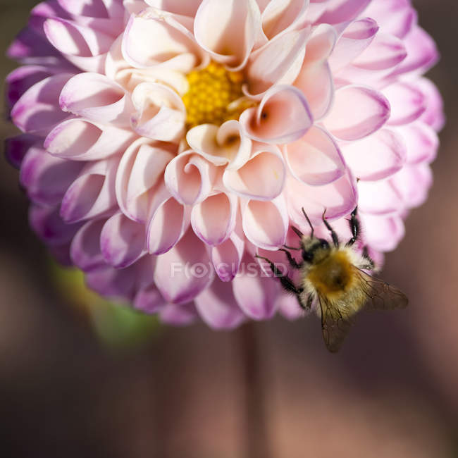Close up of bee pollinating pink dahlia flower — Stock Photo