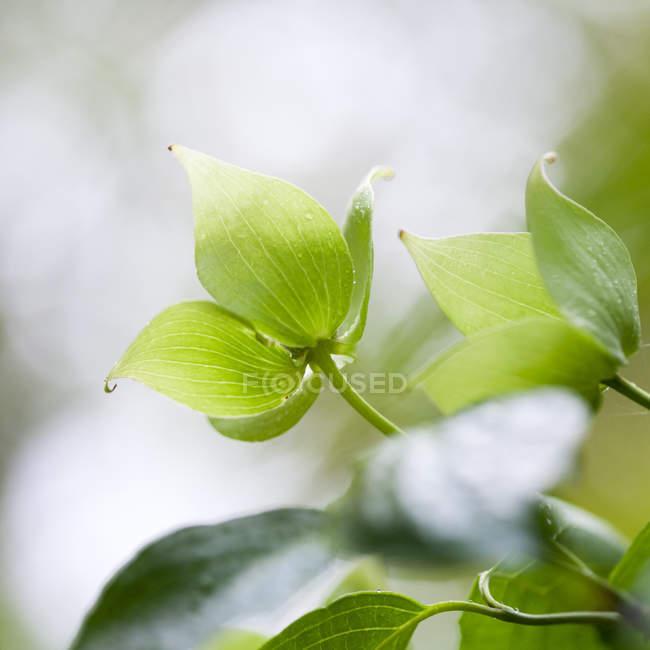 Close-up de folhas verdes frescas na árvore de dogwood — Fotografia de Stock