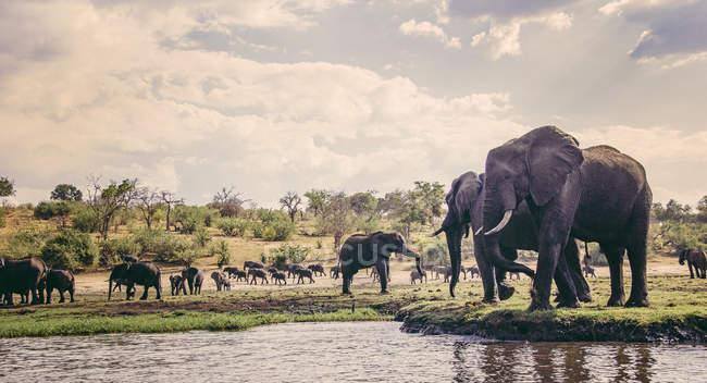 Elefantes na orla, Parque Nacional de Chobe, Botswana — Fotografia de Stock