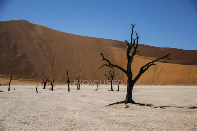 Burned trees in desert, Dead Vlei desert, Namibia — Stock Photo