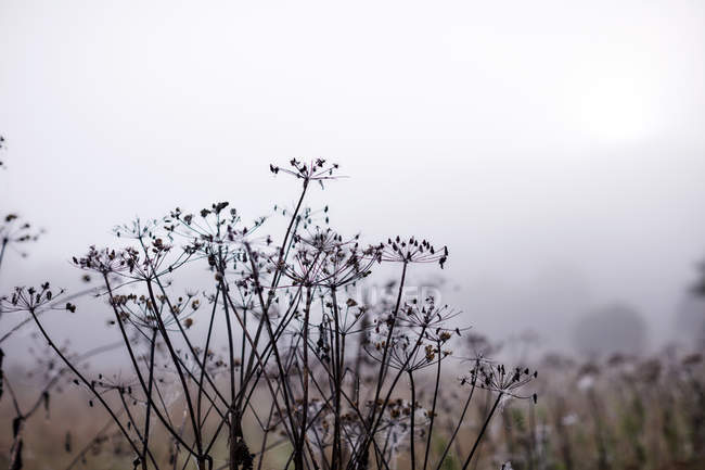 Niebla etéreo detrás ramas de invierno - foto de stock