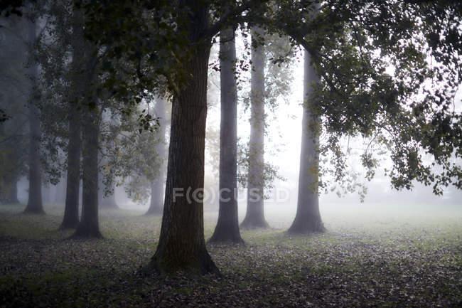 Etéreo niebla detrás de los árboles de otoño tranquilo - foto de stock