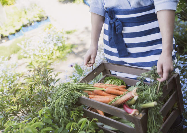 Woman harvesting fresh carrots and vegetables in garden — Stock Photo