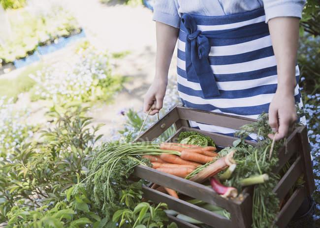 Mulher, colheita de cenouras frescas e legumes no jardim — Fotografia de Stock