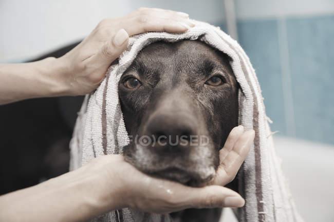 Close up ritratto grave cane nero essere bagnato — Foto stock