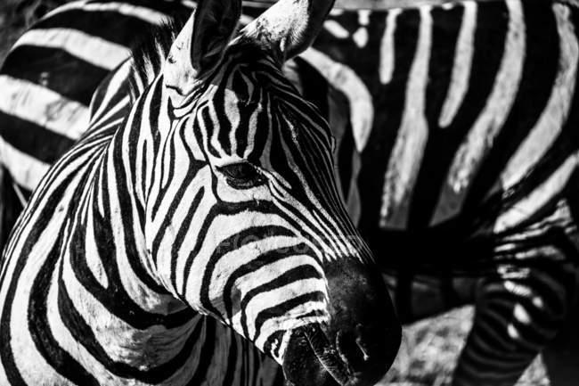 Primo piano di zebra, Serengeti, Tanzania — Foto stock