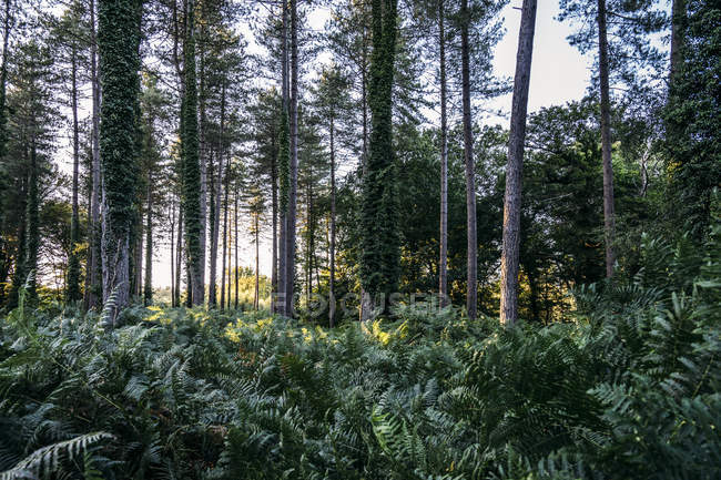 Lush ferns and ivy growing below trees in woods, New Forest, United Kingdom — Stock Photo