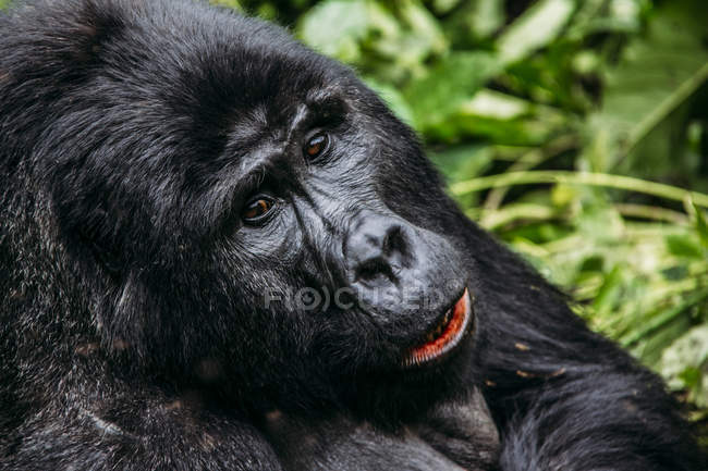 Close up of gorilla, Bwindi Impenetrable National Park, Uganda — Stock Photo