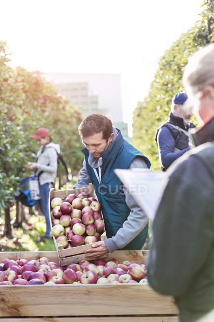 Agricultores cosechar manzanas en el huerto - foto de stock