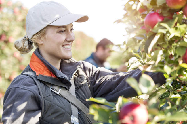 Smiling female farmer harvesting apples in orchard — Stock Photo