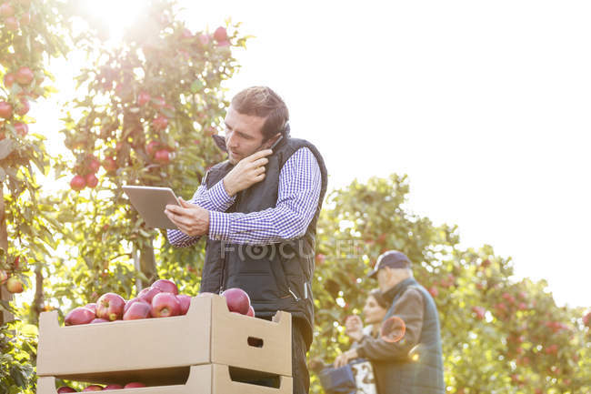 Male farmer with digital tablet talking on cell phone in sunny apple orchard — Stock Photo