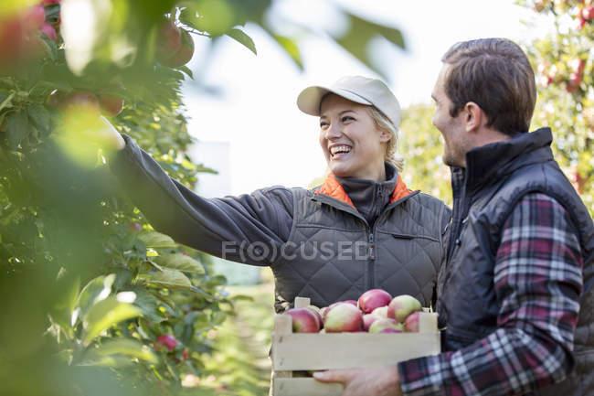 Sonriendo a los agricultores cosechar manzanas en el huerto - foto de stock