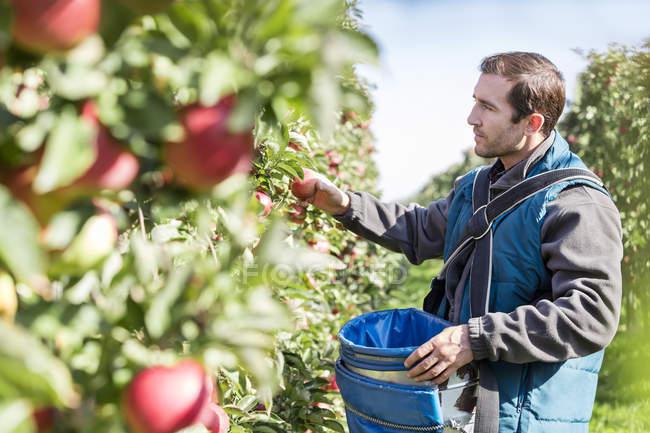 Hombre agricultor cosechar manzanas en el huerto soleado - foto de stock