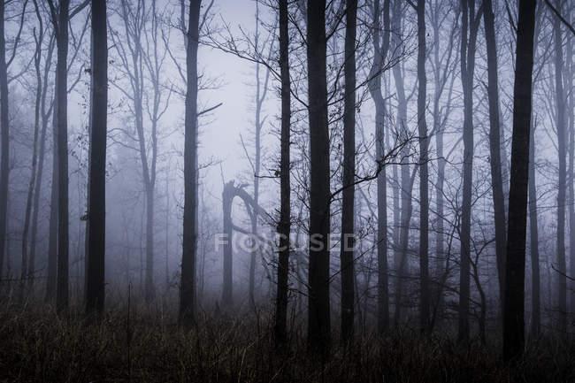 Эфирные зимние лесные деревья, покрытые туманом, Нествед, Дания — стоковое фото