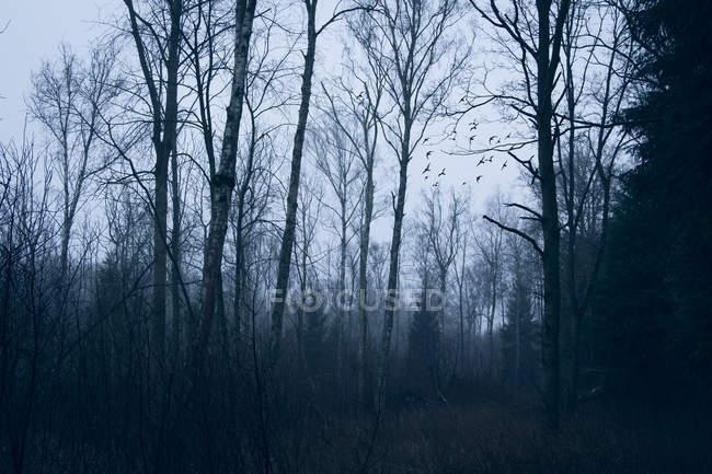 Aves voando além de árvores de floresta de inverno, Naestved, Dinamarca — Fotografia de Stock