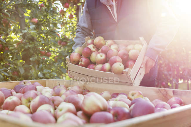Male farmer emptying fresh harvested red apples into bin in sunny orchard — Stock Photo