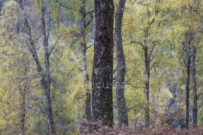 Idyllic autumn trees in woods, Glen Affric, Scotland — Stock Photo