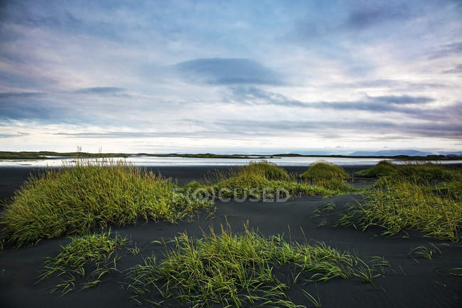 Verde grama crescendo na praia de areia remota, preta, Stokksnes, Islândia — Fotografia de Stock