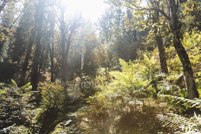 Sunny trees and ferns in idyllic forest, Supi Bageshwar, Uttarakhand, Indian Himalayan Foothills — Stock Photo