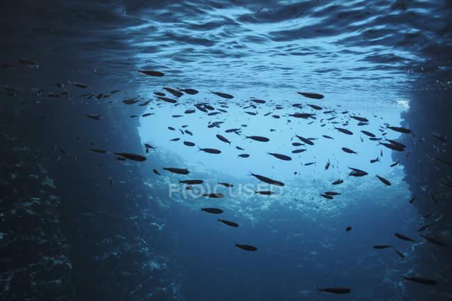 Peces nadando bajo el agua en el océano azul, Vava 'u, Tonga, Océano Pacífico - foto de stock