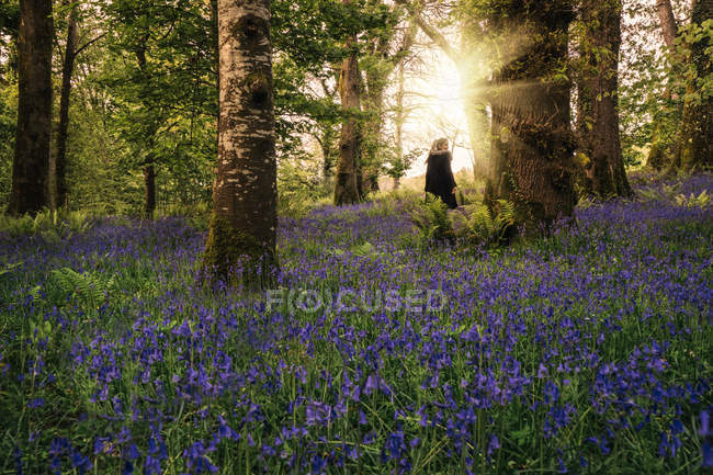 Woman walking in idyllic spring woods with purple wildflowers, Kerry, Ireland — Stock Photo