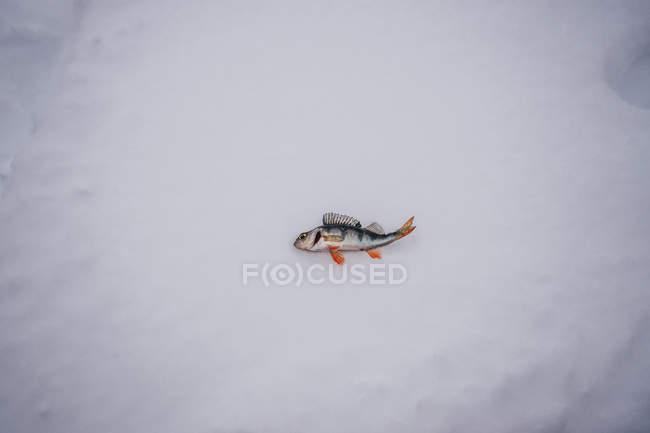 Pesci morti in posa sulla neve — Foto stock
