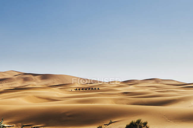 Camels crossing sunny, remote sandy desert, Sahara, Morocco — Stock Photo