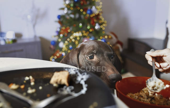 Hunger dog looking at plates with Christmas lunch — Stock Photo