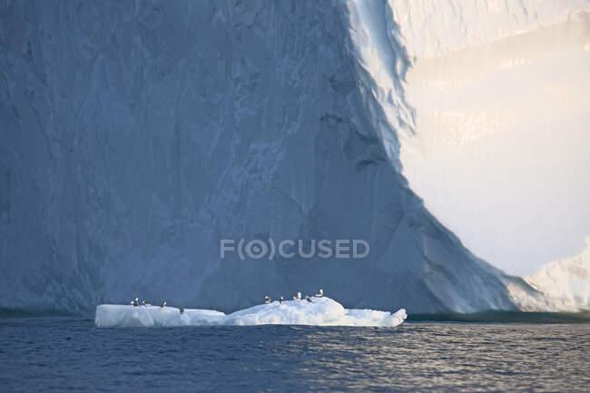 Aves empoleiradas no gelo derretendo abaixo do iceberg Oceano Atlântico Groenlândia — Fotografia de Stock