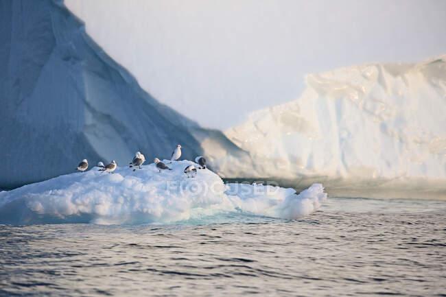 Aves em gelo polar derretendo Oceano Atlântico Groenlândia — Fotografia de Stock