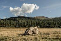 Italie, Alpe Devero. Vue arrière de la vache couchée dans la prairie de montagne — Photo de stock