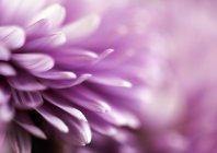Pétalas da flor gerbera violeta — Fotografia de Stock