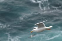 Uccello di gabbiano che vola sopra l'acqua di mare — Foto stock