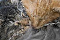 Zwei Katzen kuscheln und schlafen — Stockfoto