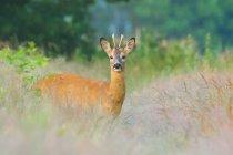 Braune männliche Hirsch im grünen Rasen Wiese Blick in die Kamera — Stockfoto