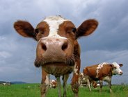 Close up of cow looking at camera — Stock Photo