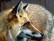 Vue rapprochée du renard roux regardant loin — Photo de stock