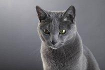 Chat gris chartreux en studio — Photo de stock