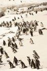 De nombreux manchots Humboldt marchant sur la côte de falaise — Photo de stock