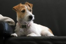 Parson russell terrier lying on black sofa in studio — Stock Photo