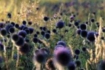 Grünes Gras auf der Wiese mit blauen Disteln — Stockfoto