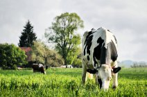 Prado verde de la campiña con las vacas - foto de stock