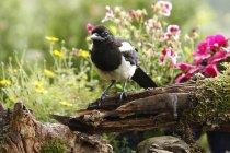 European magpie bird outdoors in garden with flowers — Stock Photo