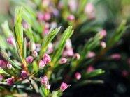 Foglie verdi e fiori di abete — Foto stock