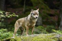 Волк в лесу летом, животных в дикой природе — стоковое фото