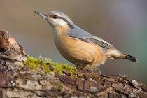 Longitud total de pájaro trepador en corteza de árbol con musgo - foto de stock