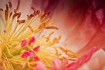 Close-up de estame flor de peônia — Fotografia de Stock