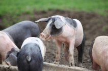 Livestock of piglets, funny dirty pigs outdoors — Stock Photo