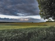 Поле фермы ячменя и грозовое небо — стоковое фото